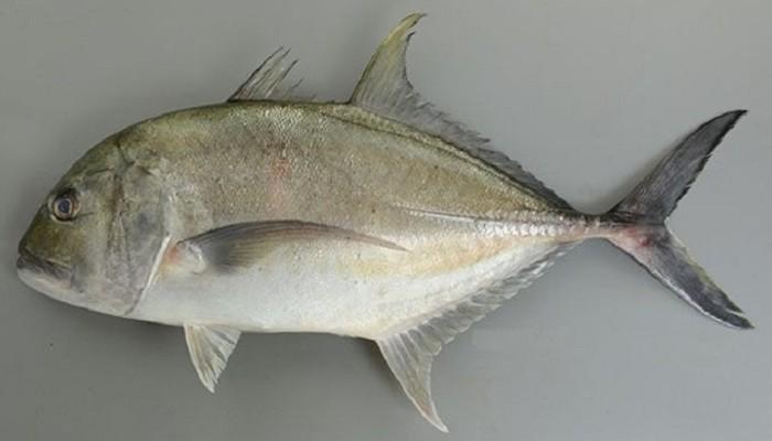 5 Jenis Ikan Pembalut Sushi Sajian Sehat Dan Nikmat