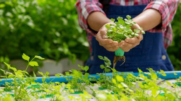 bisnis sayuran hidroponik